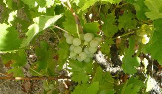 Castilla y León presenta 14 variedades de vid recuperadas
